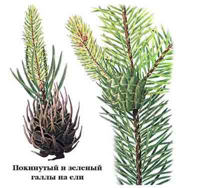 Хермес желтый — Sacchiphantes abietis (L.) и Хермес зеленый — Sacchiphantes viridis Rtzb.