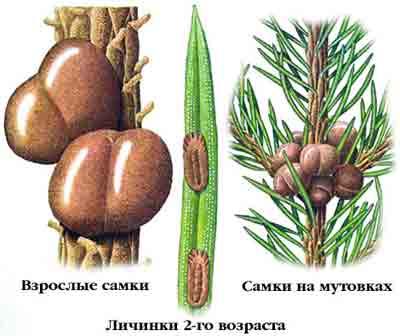 Ложнощитовка еловая — Physokermes piceae (Schrnk.)
