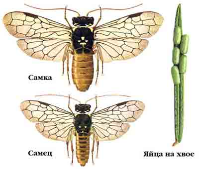 Пилильщик-ткач еловый — Cephaleia abietis (L.)
