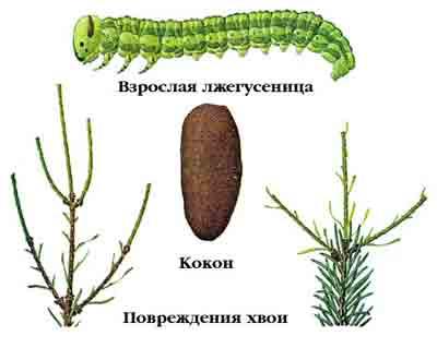 Пилильщик еловый полосатый — Pachynematus scutellatus (Htg.)