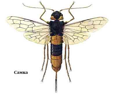 Рогохвост большой хвойный — Urocerus gigas (L.)