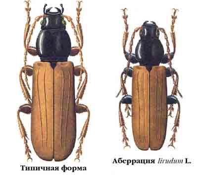 Дровосек блестящегрудый еловый — Tetrоpium castaneum (L.)
