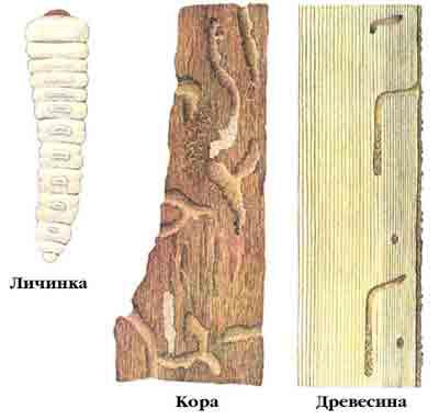 Дровосек матовогрудый еловый — Tetropium fuscum (F.)