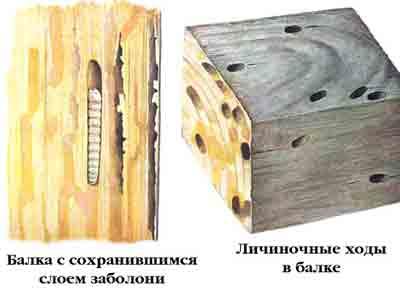 Дровосек-усач черный домовой — Hylotrupes bajulus (L.)
