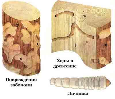 Усач малый черный еловый — Monochamus sutor (L.)