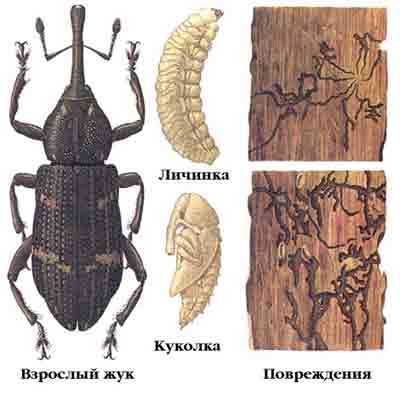 Смолевка еловая жердняковая — Pissodes harcyniae (Hbst.)