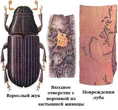 Лубоед большой еловый — Dendroctonus micans (Кug.)