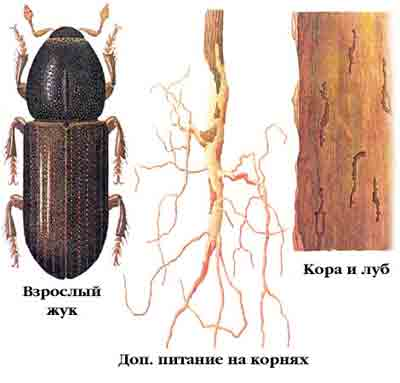 Корнежил еловый — Hylastes cunicularius Еrichs.