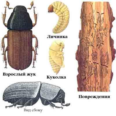 Полиграф пушистый — Polygraphus polygraphus (L.)