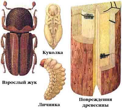 Древесинник хвойный — Trypodendron lineatum (Ol.)