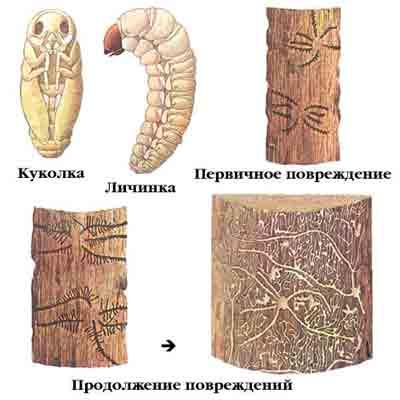 Гравер обыкновенный — Pityogenes chalcographus (L.)
