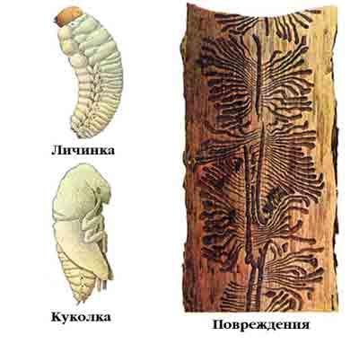 Типограф, или большой еловый короед — Ips typographus (L.)