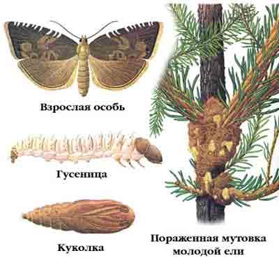 Листовертка еловая лубоедная — Laspeyresia pactolana (Zell.)