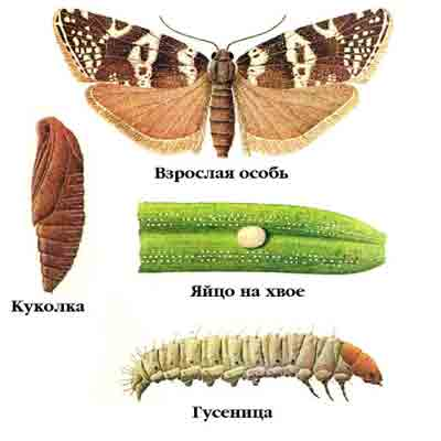 Листовертка-иглоед еловая — Epinotia tedella (Сl.)