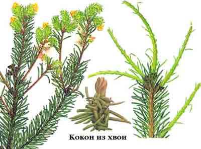 Листовертка лиственничная — Zeiraphera diniana (Gn.)