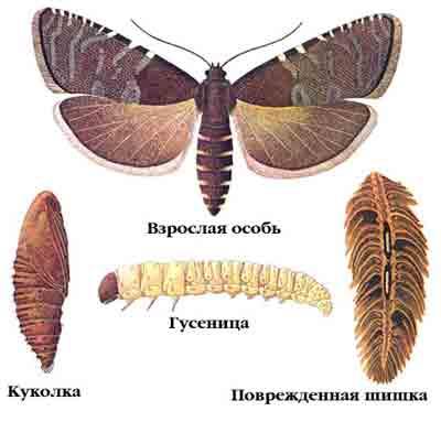 Листовертка еловая шишковая — Laspeyresia strobilella L.