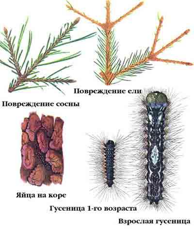 Шелкопряд-монашенка — Lymantria monacha (L.)
