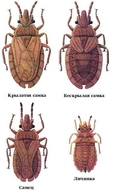 Клоп сосновый — Aradus cinnamomeus Panz.