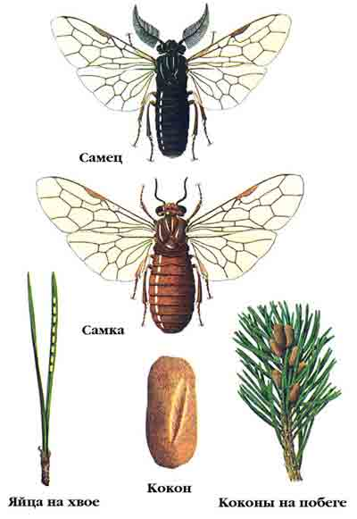 Пилильщик сосновый рыжий — Neodiprion sertifer (Geoff.)