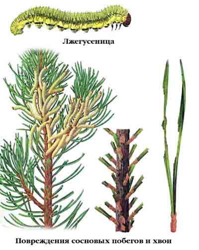 Пилильщик обыкновенный сосновый — Diprion pini (L.)
