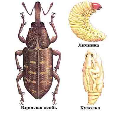 Долгоносик большой сосновый — Hylobius abietis (L.)