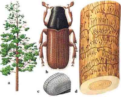 Лубоед малый сосновый — Blastophagus minor (Hart.)