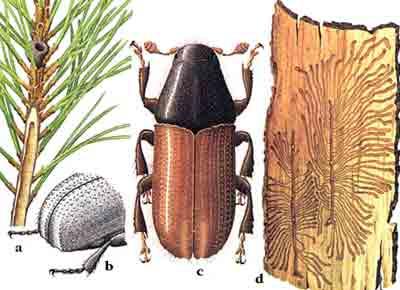 Лубоед большой сосновый — Blastophagus piniperda (L.)