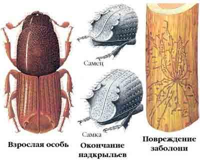 Короед вершинный — Ips acuminatus Gyll.