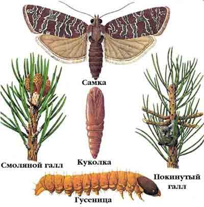 Побеговьюн смолевщик — Petrova resinella (L.)