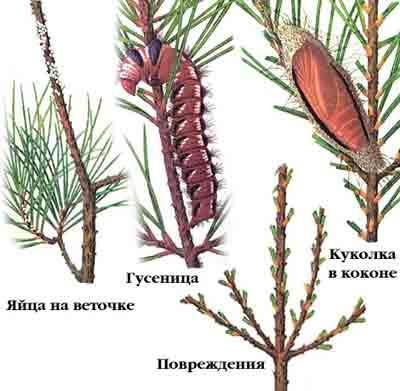 Шелкопряд сосновый — Dendrolimus pini (L.)