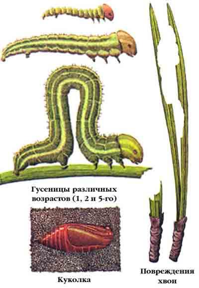 Пяденица сосновая — Bupalus piniarius (L.)