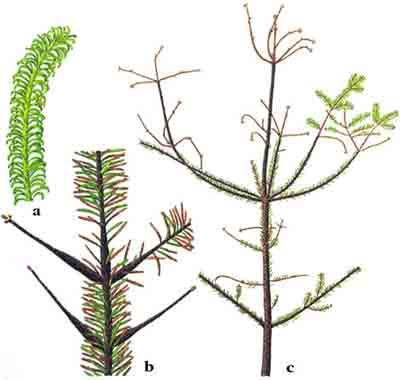Хермес кавказский елово-пихтовый — Dreyfusia nordmannianae (Еckst.)