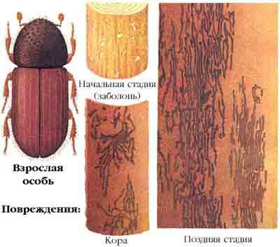 Крифал западный — Cryphalus piceae (Rtzb.)