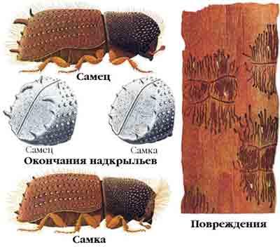 Короед восточный крючкозубый — Pityokteines curvidens (Germ.)