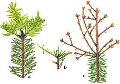 Листовертка-толстушка пихтовая — Choristoneura murinana (Hbn.)