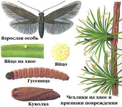 Чехлоноска лиственничная — Coleophora laricella (Нв.)