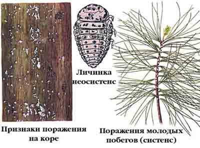 Хермес сосновый — Pineus strobi (Нtg.)