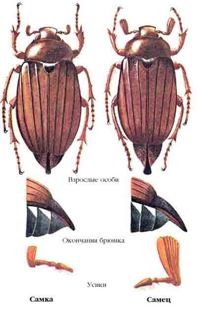 Хрущ восточный майский — Melolontha hippocastani F.