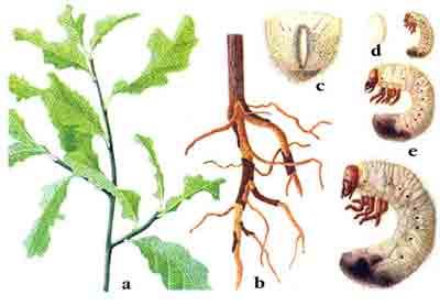 Хрущ западный майский — Melolontha melolontha (L.)