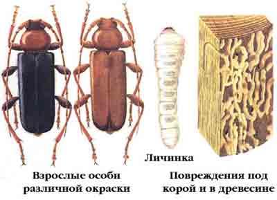 Дровосек плоский дубовый — Phymatodes testaceus (L.)