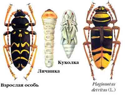 Клит поперечнополосатый дубовый — Plagionotus arcuatus (L.), Plagionotus detritus (L.)
