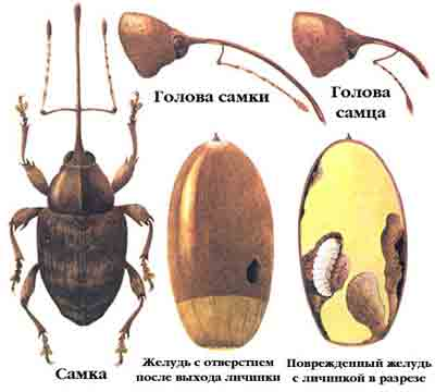 Долгоносик дубовый — Curculio glandium (Marsch).