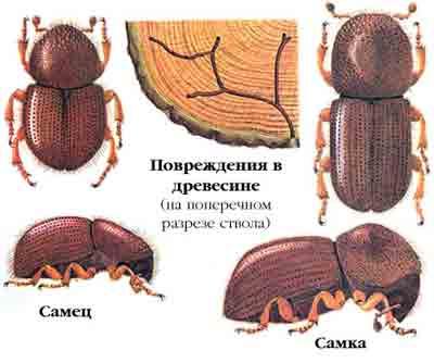 Короед западный непарный — Xyleborus dispar (F.)