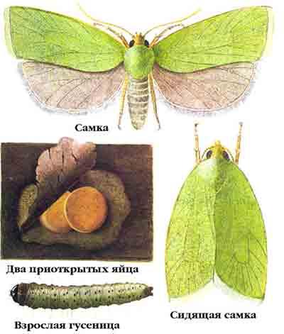 Листовертка зеленая дубовая — Tortrix viridana (L.)