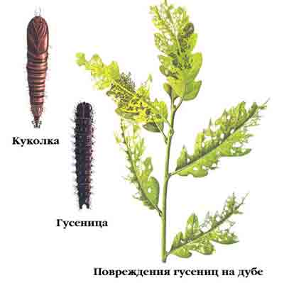 Листовертка бурая — Archips crataegana Нв.