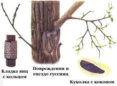 Коконопряд кольчатый — Malacosoma neustria (L.)