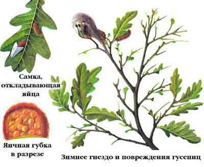 Златогузка — Euproctis chrysorrhoea (L.)