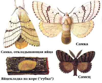 Шелкопряд непарный — Lymantria dispar (L.)