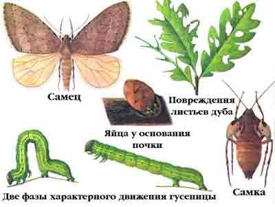 Пяденица зимняя — Operophthera brumata (L.)