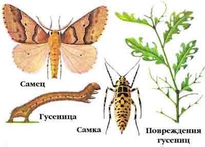 Пяденица-обдирало — Erannis defoliaria Сl.